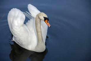 swan-319379_1280